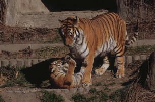 虎の親子 日本平動物園の写真素材 [FYI03384441]