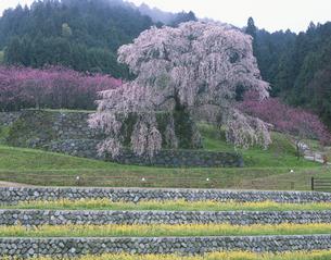 叉兵衞桜の写真素材 [FYI03384637]
