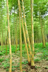 金明孟宗竹の竹林の写真素材 [FYI03384762]
