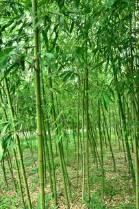 緑が鮮やかな竹林の写真素材 [FYI03384767]