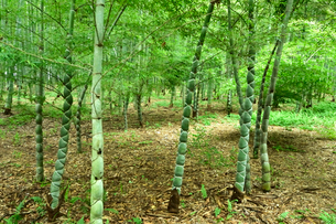 亀甲竹の竹林の写真素材 [FYI03384770]