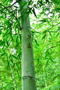 竹林とカエルの写真素材 [FYI03384771]