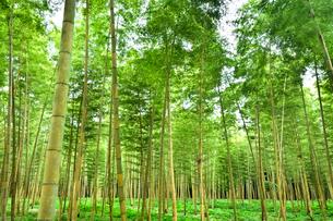 金明孟宗竹の竹林の写真素材 [FYI03384773]