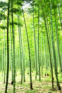 緑が鮮やかな竹林の写真素材 [FYI03384777]