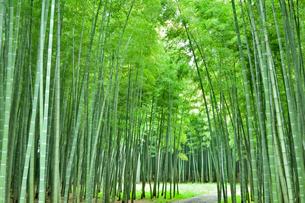 緑が鮮やかな竹林の写真素材 [FYI03384780]