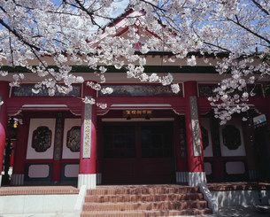 関帝廟桜の写真素材 [FYI03384971]