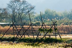 稲架の干し大根の写真素材 [FYI03385124]