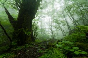 カツラ巨木と霧の山道の写真素材 [FYI03385131]