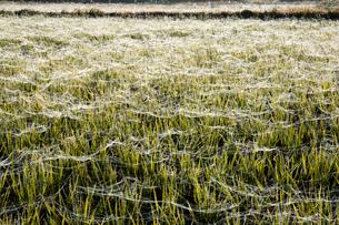 羊田に張られた無数の蜘蛛の糸の写真素材 [FYI03385142]