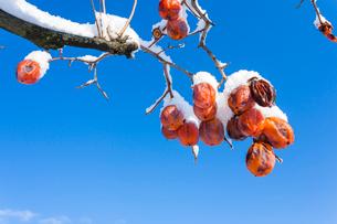 冬の熟柿の写真素材 [FYI03385143]