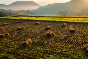 朝日に染まる田面の藁束の写真素材 [FYI03385144]