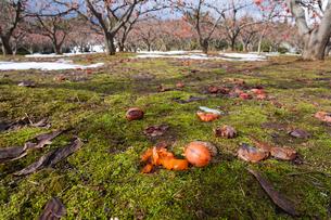 地に落ちた熟柿の写真素材 [FYI03385146]