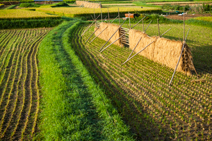 畦道と稲架干しの稲の写真素材 [FYI03385147]