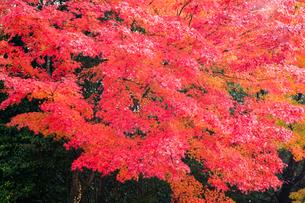 艶やかなモミジの紅葉の写真素材 [FYI03385148]