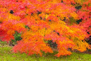 艶やかなモミジの紅葉の写真素材 [FYI03385149]