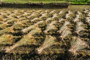 刈り取られた稲と稲架干しの写真素材 [FYI03385150]