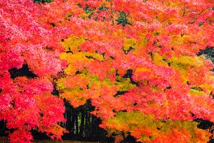 艶やかなモミジの紅葉の写真素材 [FYI03385151]