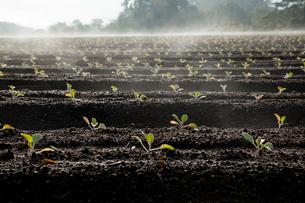 キャベツの苗と蒸気霧の写真素材 [FYI03385158]