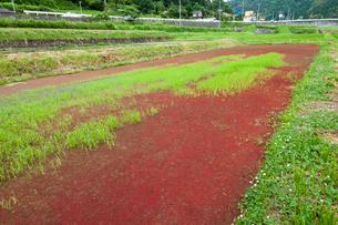 田圃に繁殖する赤浮草の写真素材 [FYI03385182]