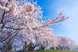 青空と桜の写真素材 [FYI03385195]