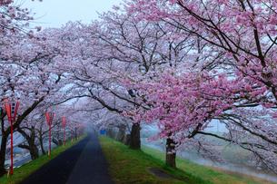 霧に浮かぶ斐伊川堤防の桜並木の写真素材 [FYI03385229]
