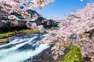 東城町の桜並木の写真素材 [FYI03385230]