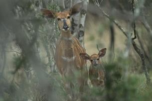 ニャラの親子 10月 ウンクージ動物保護区 南アフリカの写真素材 [FYI03385263]