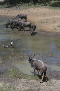 水を飲むヌーとニャラの群れ ウンクージ動物保護区 南アフリカの写真素材 [FYI03385268]