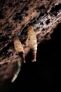 朽木を棲みかにするキセルガイの仲間の写真素材 [FYI03385270]