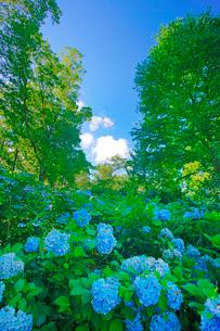 箱山城のあじさい園と樹間のハートの雲の写真素材 [FYI03385445]