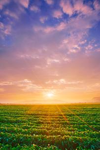 塩田平の大豆畑と朝日の写真素材 [FYI03385502]