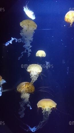 クラゲの写真素材 [FYI03385534]