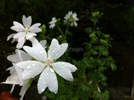 花の写真素材 [FYI03385628]
