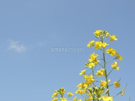 菜の花の写真素材 [FYI03385958]