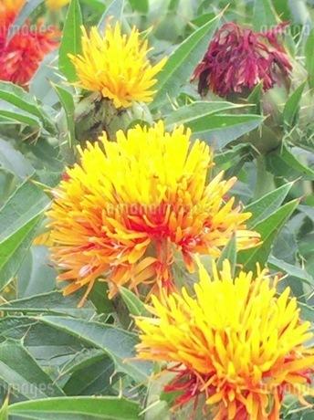紅花 2の写真素材 [FYI03385986]