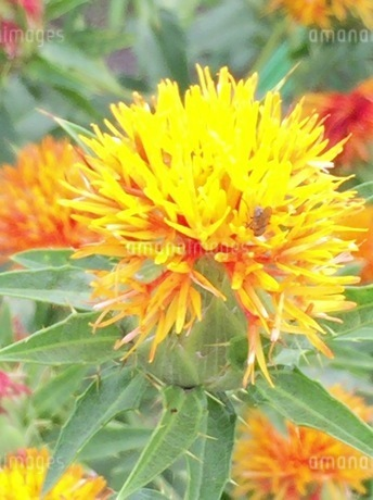 紅花 1の写真素材 [FYI03385987]