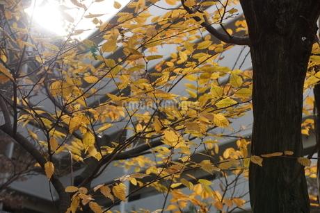 紅葉(黄色)の写真素材 [FYI03385996]