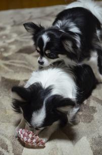 犬 チワワ おんぶ 親子の写真素材 [FYI03386033]