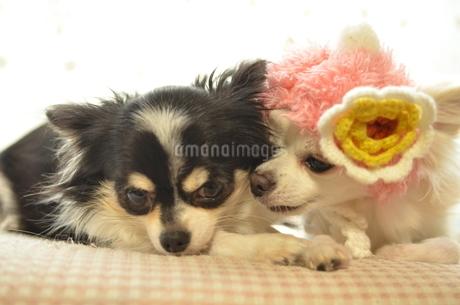 犬 チワワ 仲良し の写真素材 [FYI03386038]
