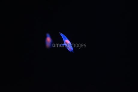クリオネの写真素材 [FYI03386171]