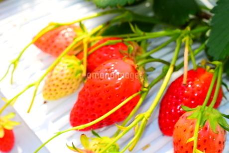 イチゴの写真素材 [FYI03386178]