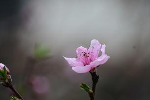 桜の写真素材 [FYI03386180]