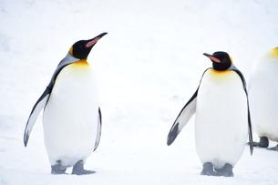 ペンギンの写真素材 [FYI03386191]