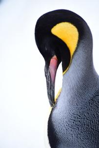 ペンギンの写真素材 [FYI03386192]