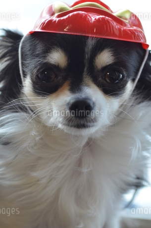 犬 チワワ 節分の写真素材 [FYI03386201]