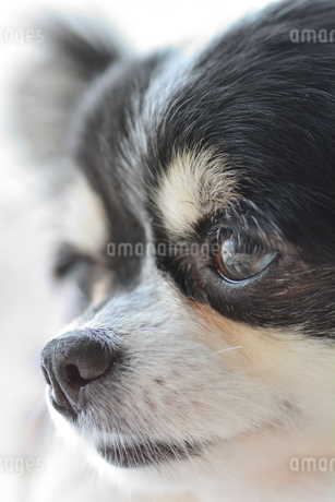 犬 チワワ 見つめるの写真素材 [FYI03386207]