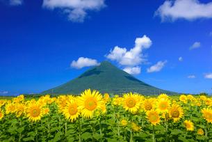 ひまわり咲く南薩路と開聞岳の写真素材 [FYI03386274]