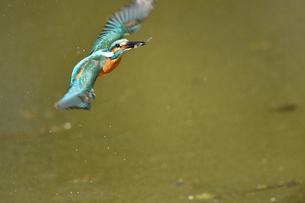 翡翠の捕食の写真素材 [FYI03386379]