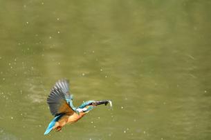 小魚を獲ったカワセミの写真素材 [FYI03386380]