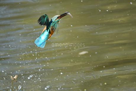 小魚を獲ったカワセミの写真素材 [FYI03386381]
